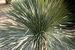 A Beaked Yucca in the Gardens.