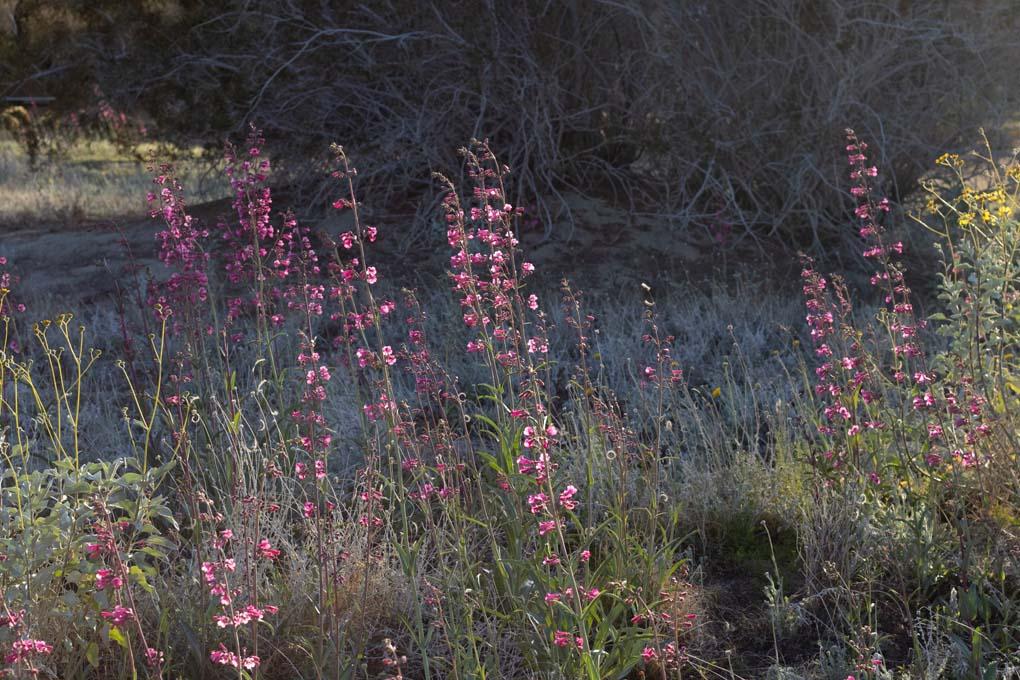 Multiple Desert Penstemon flowers bloom in the Wildflower field.