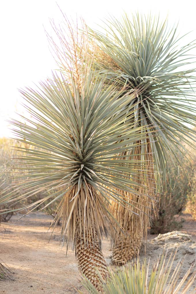 A pair of Beaked Yucca in the gardens.