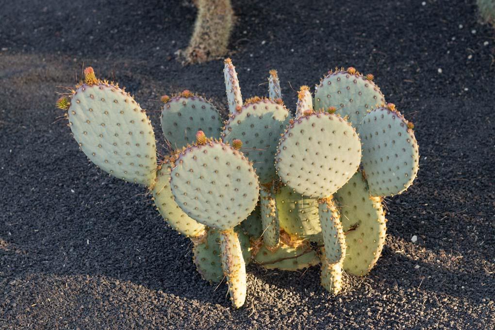 A Santa Rita cactus in the specimen bed.