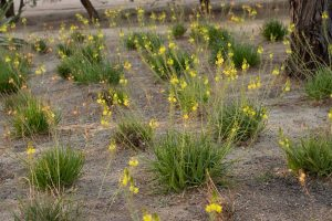 A group of African bulbine plants with yellow flowers in the gardens