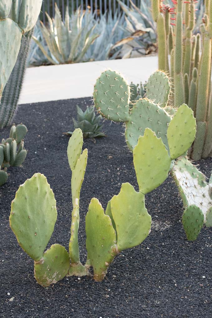 An Old Mexico Prickly Pear cactus in a specimen bed.