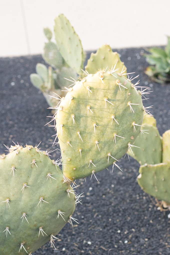 An Engelmann's Prickly Pear cactus in the specimen bed.