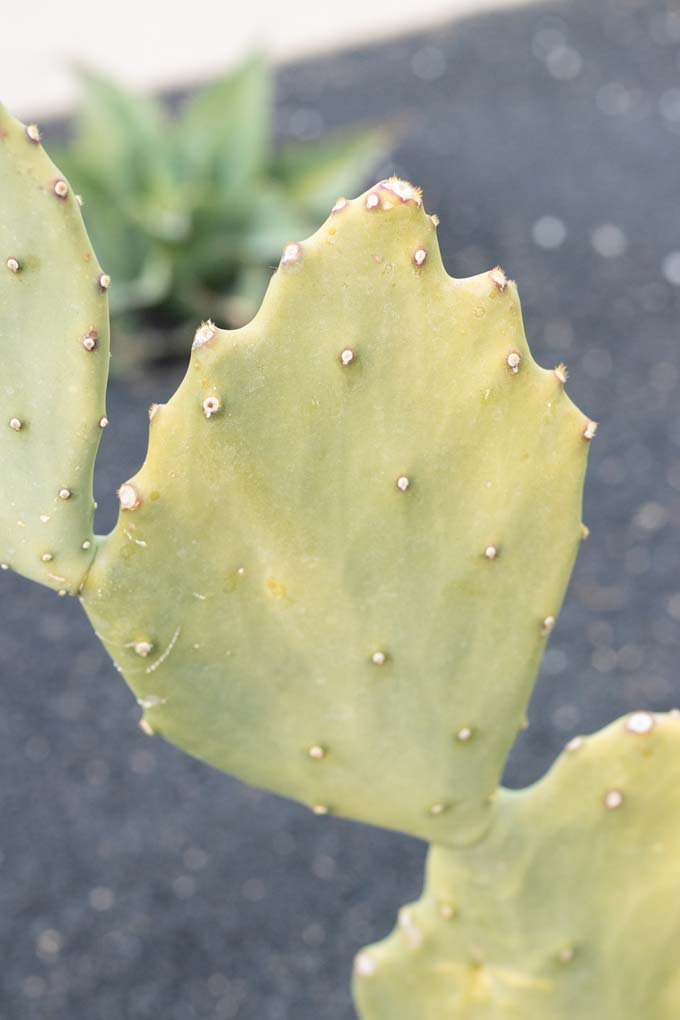 A close up of a pad of Old Mexico cactus.