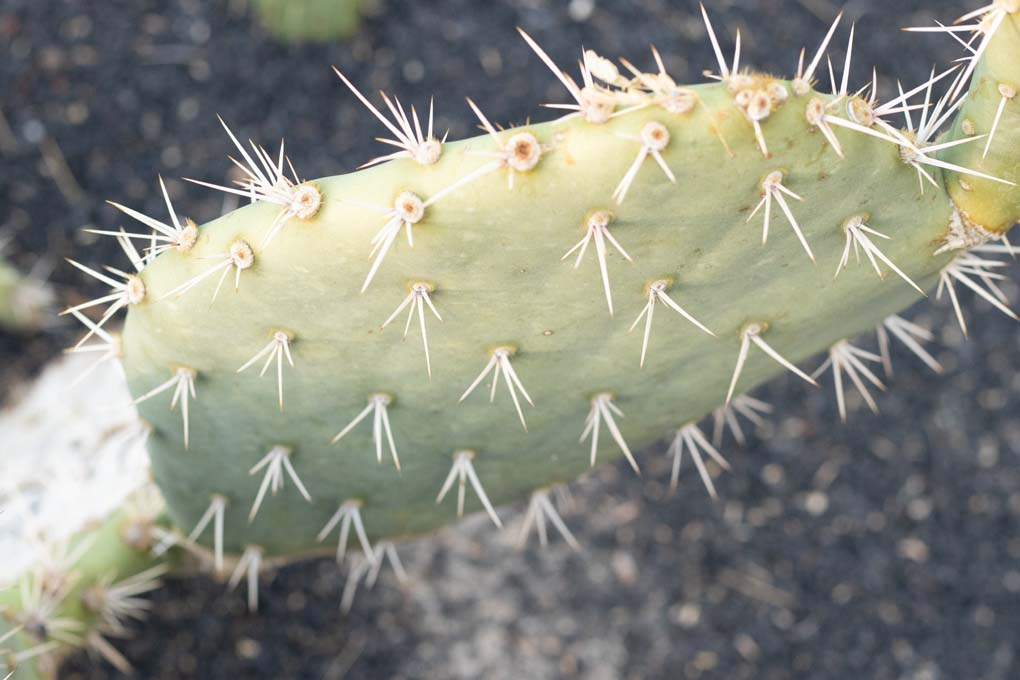 A close-up of the Engelmann's Prickly Pear.