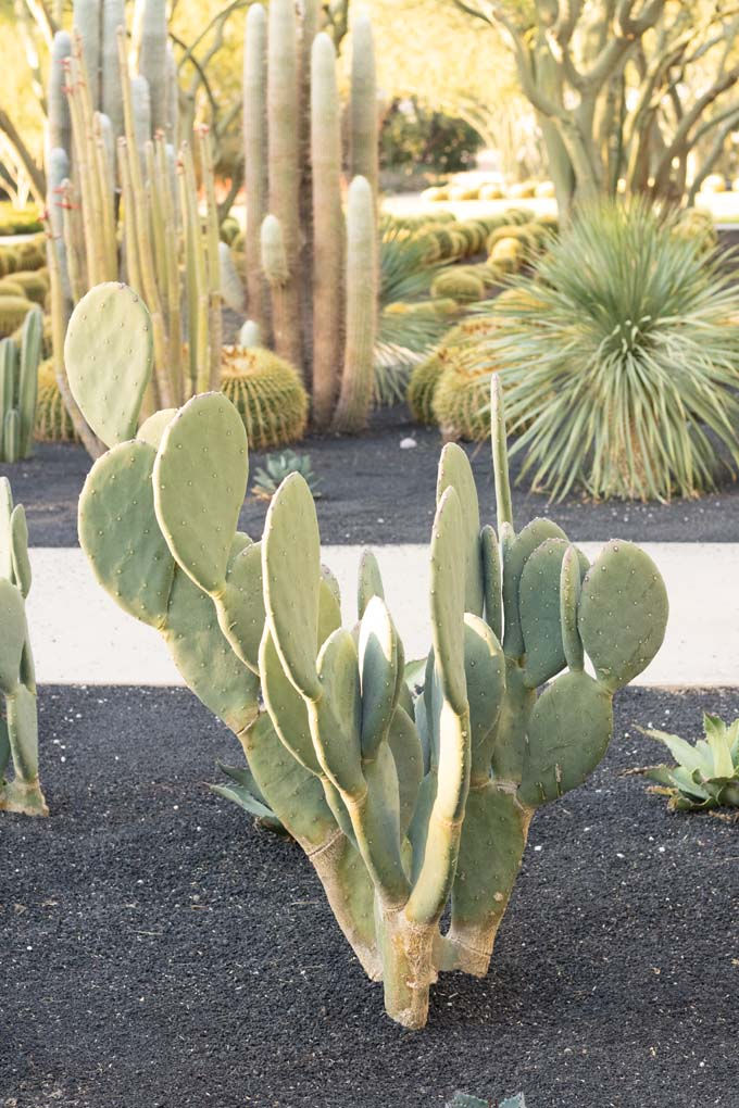 A Prickly Pear cactus in the specimen bed.