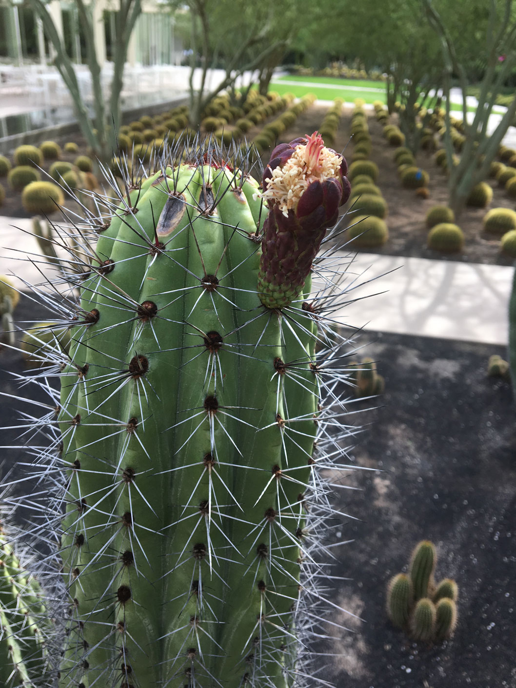 An emerging bud of the Organ Pipe Cactus.