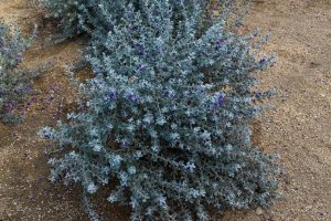 An example of the gray foilage and periwinkle flowers of the Sierra Bouquet variety.