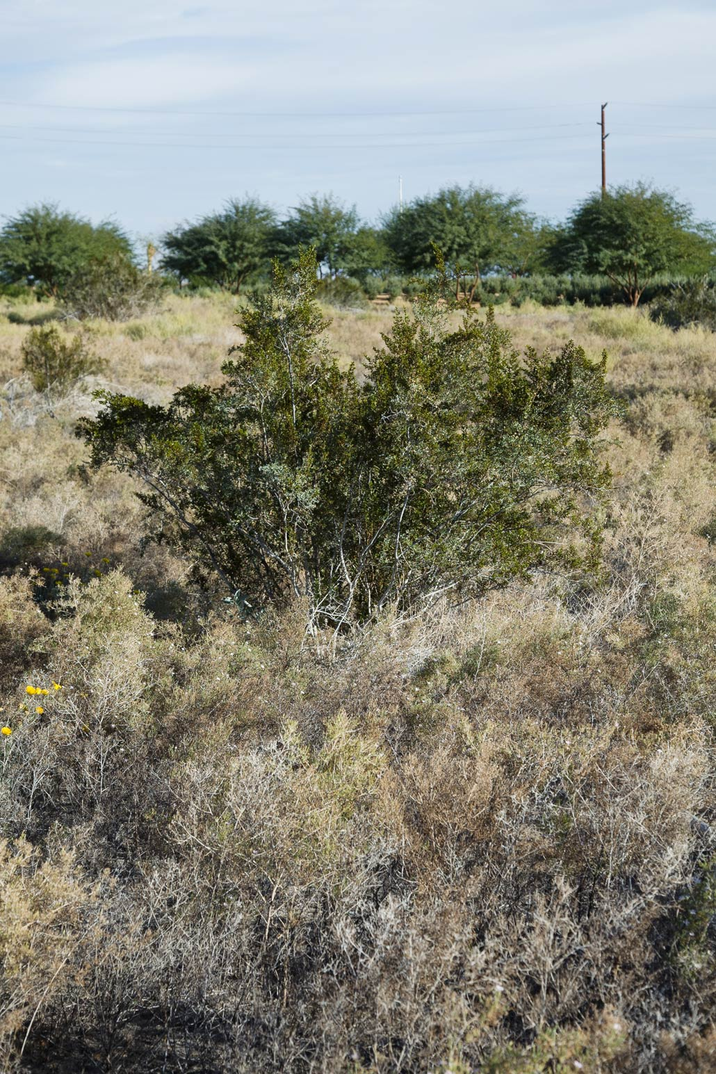 A Creosote bush in the Wildflower Field at Sunnylands Center & Gardens.