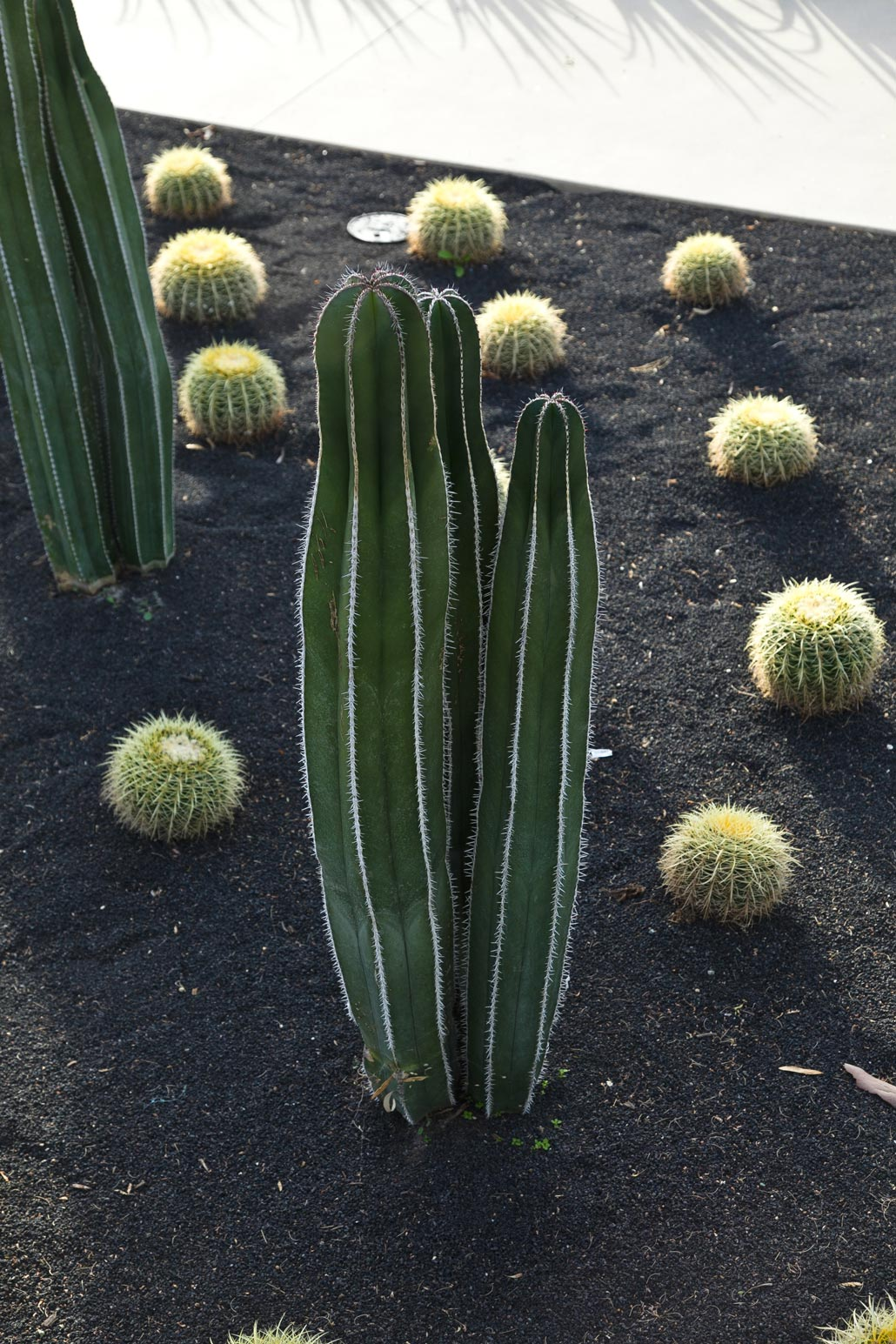 A short Fencepost cactus surrounded by Golden Barrel cactus and black scoria.