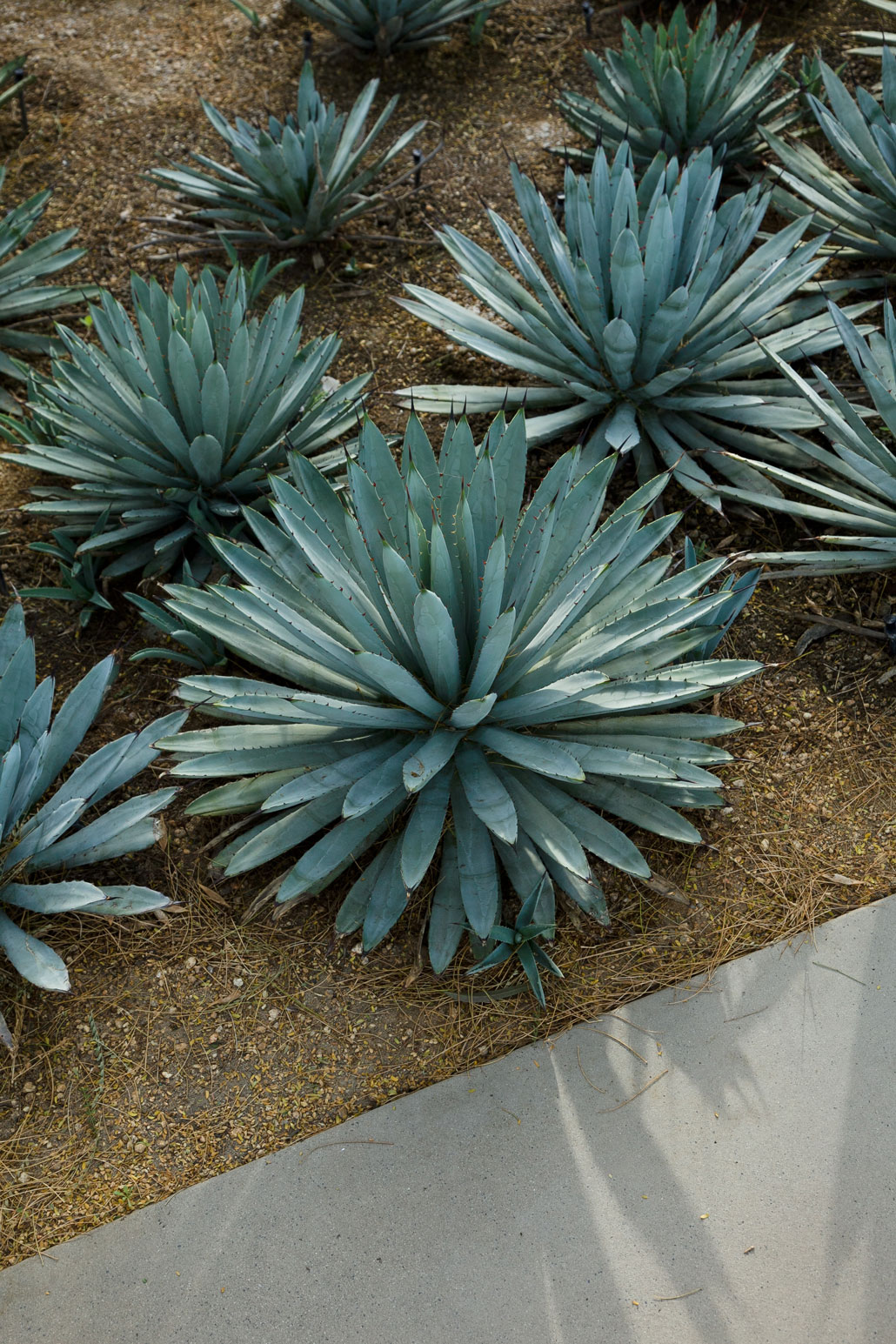 A grouping of Black-spined Agave in the Gardens.