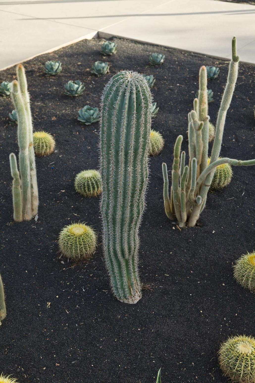 A small Cardon cactus, about 3 feet tall, among various species in the specimen bed at Sunnylands Center and Gardens.
