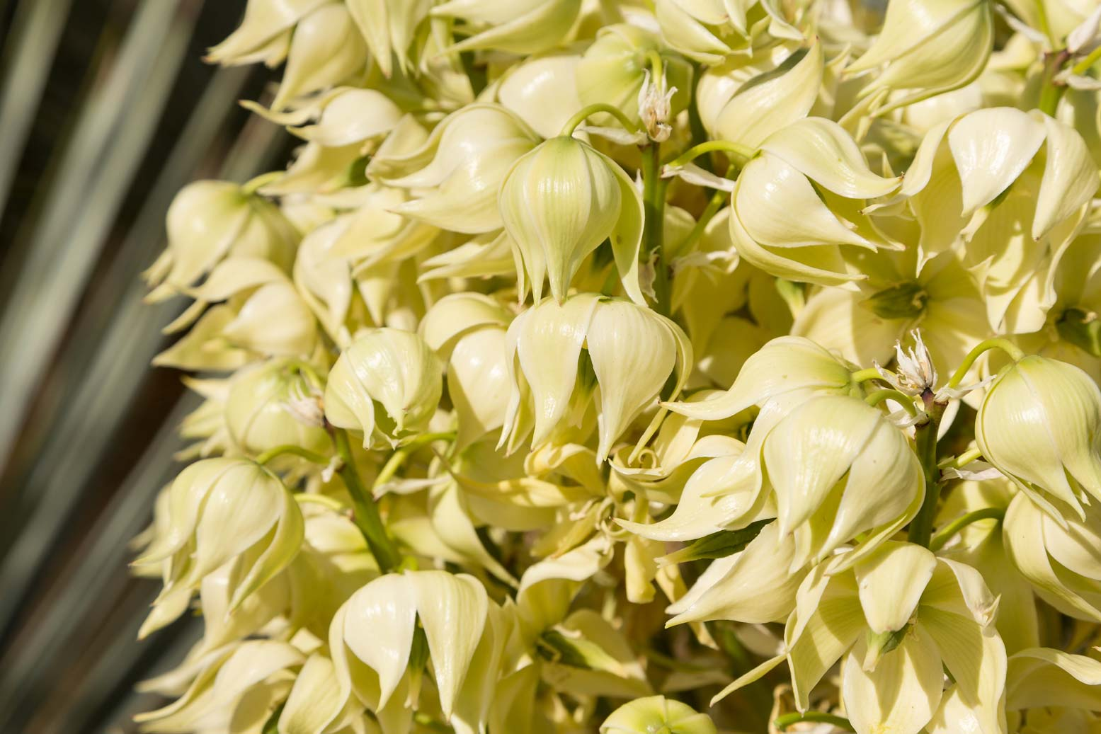 A close-up of the white blooms of the Beaked Yucca.