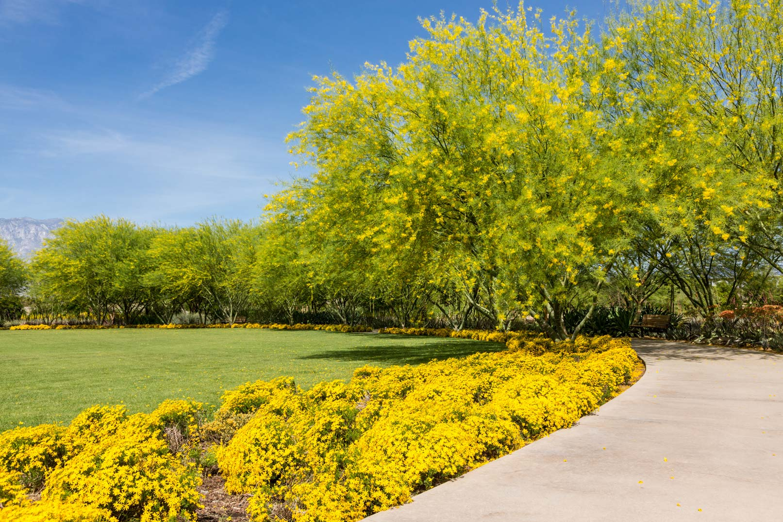 The right side of the Great Lawn with bright yellow Damianita blooms bordering the lawn sits in the foreground. In the background, the lawn is bordered by blooming Palo Verde trees and a peek-a-boo mountain view.