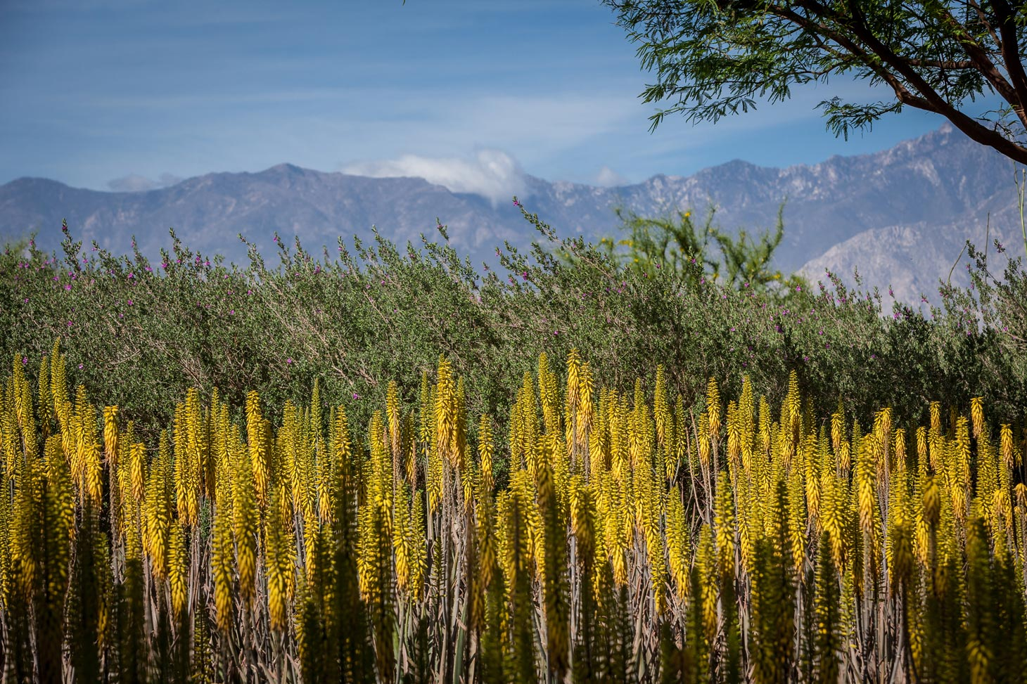 A wide view of rows of flowering aloes along with mountains in the background.