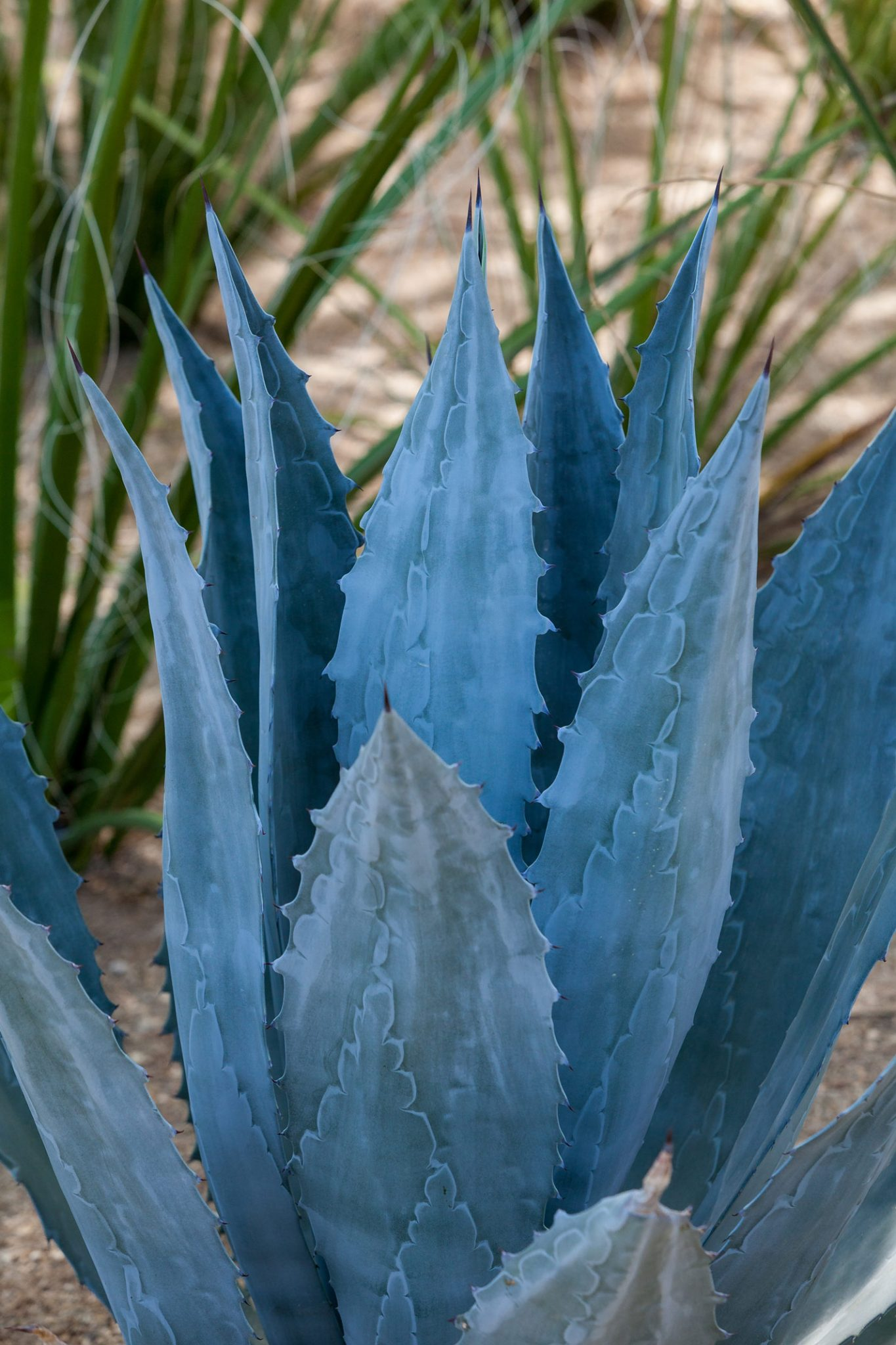 A close up view of the blue-gray leaves and sharp teeth of the Century Plant.