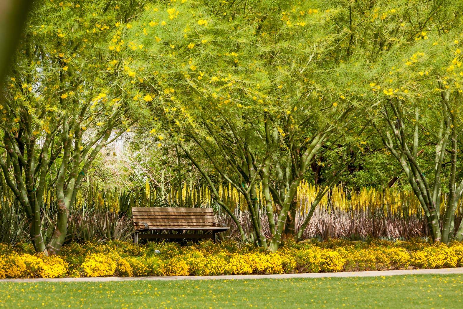 From afar, the Damianita blooms border the Great Lawn. A bench underneath the shade of a blooming Palo Verde tree overlooks the blooms.