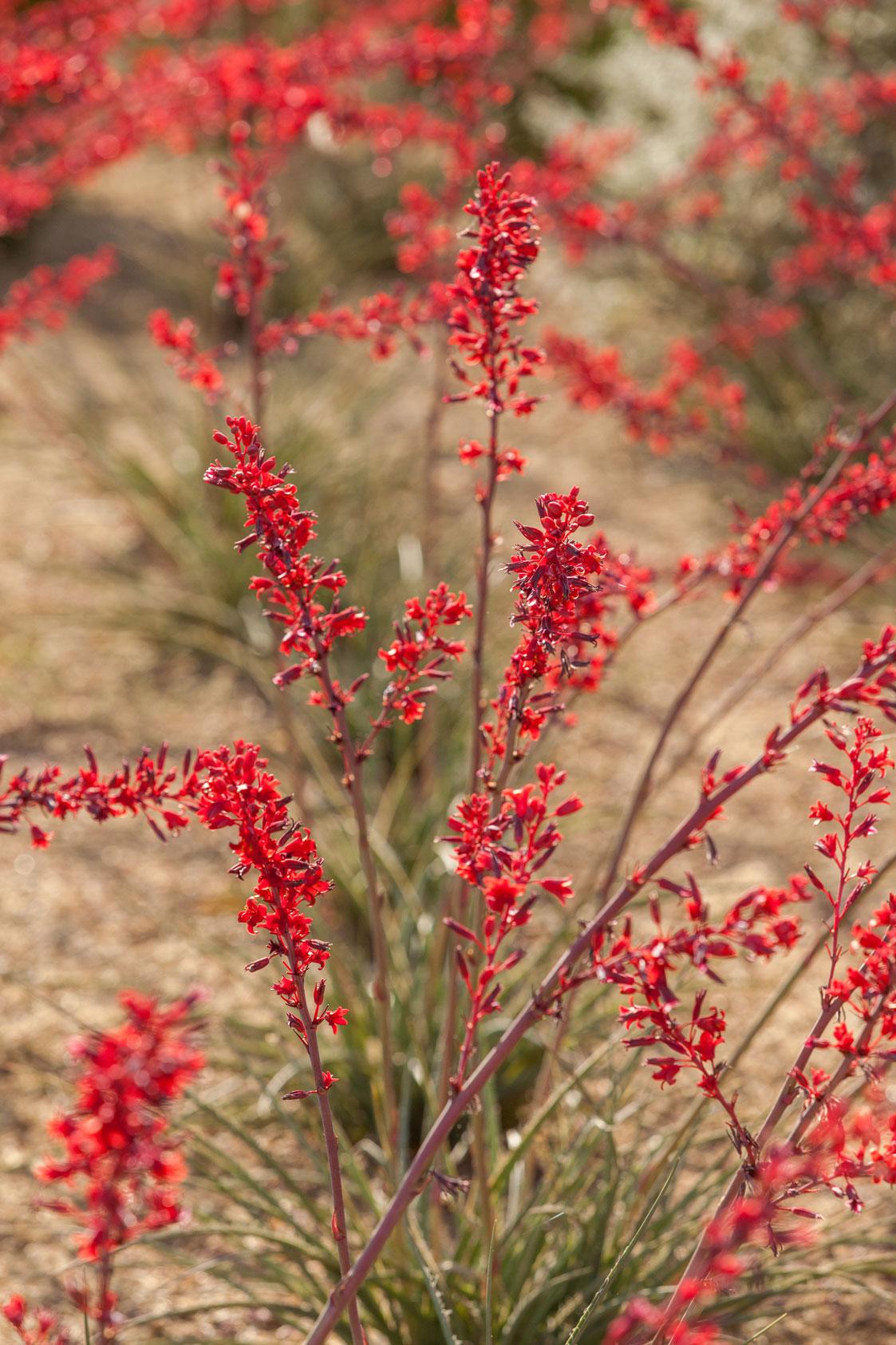 Multiple stalks of Brakelights Hesperaloe full of deep red blooms.