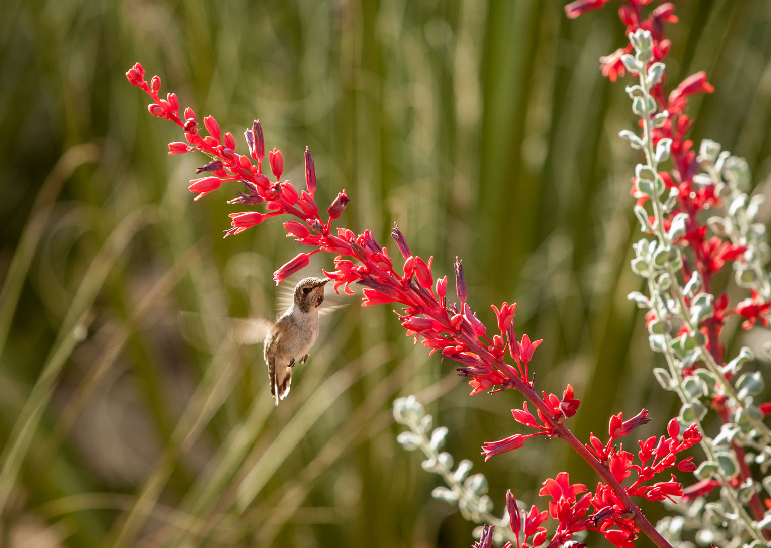 A close-up of the deep red flowers of the Brakelights Hesperaloe.