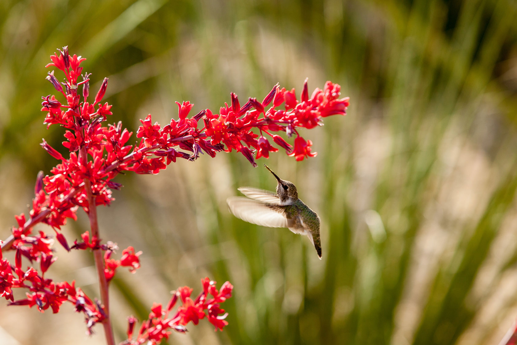 A hummingbird feeds from the flowers of the Brakelights Hesperaloe.