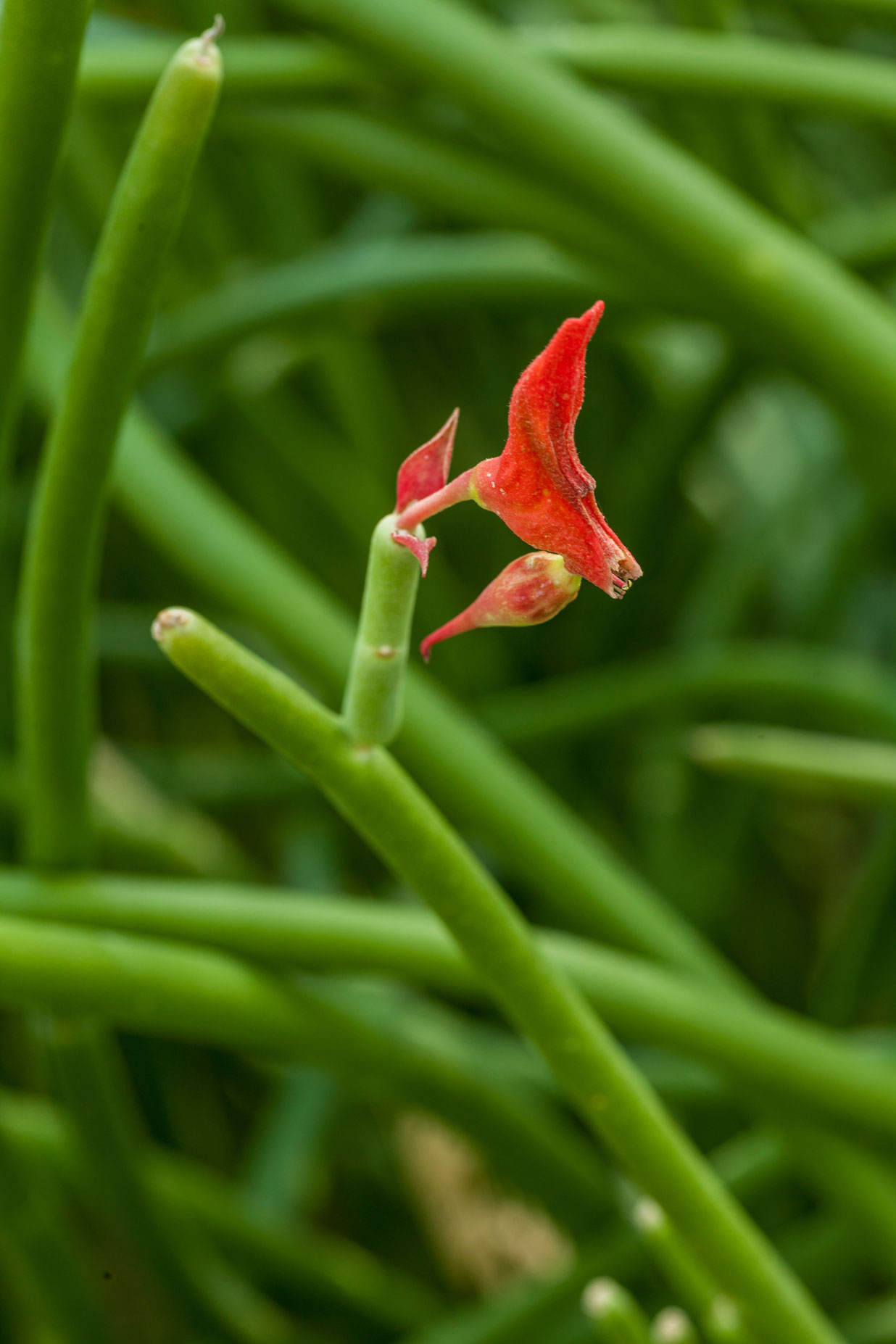 A close-up of the red triangular bloom of a Slipper Flower.