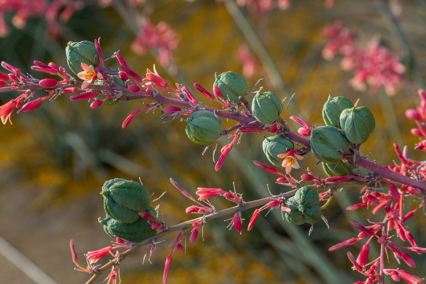 Flowers and seedpods along a stalk of the Red Hesperaloe.