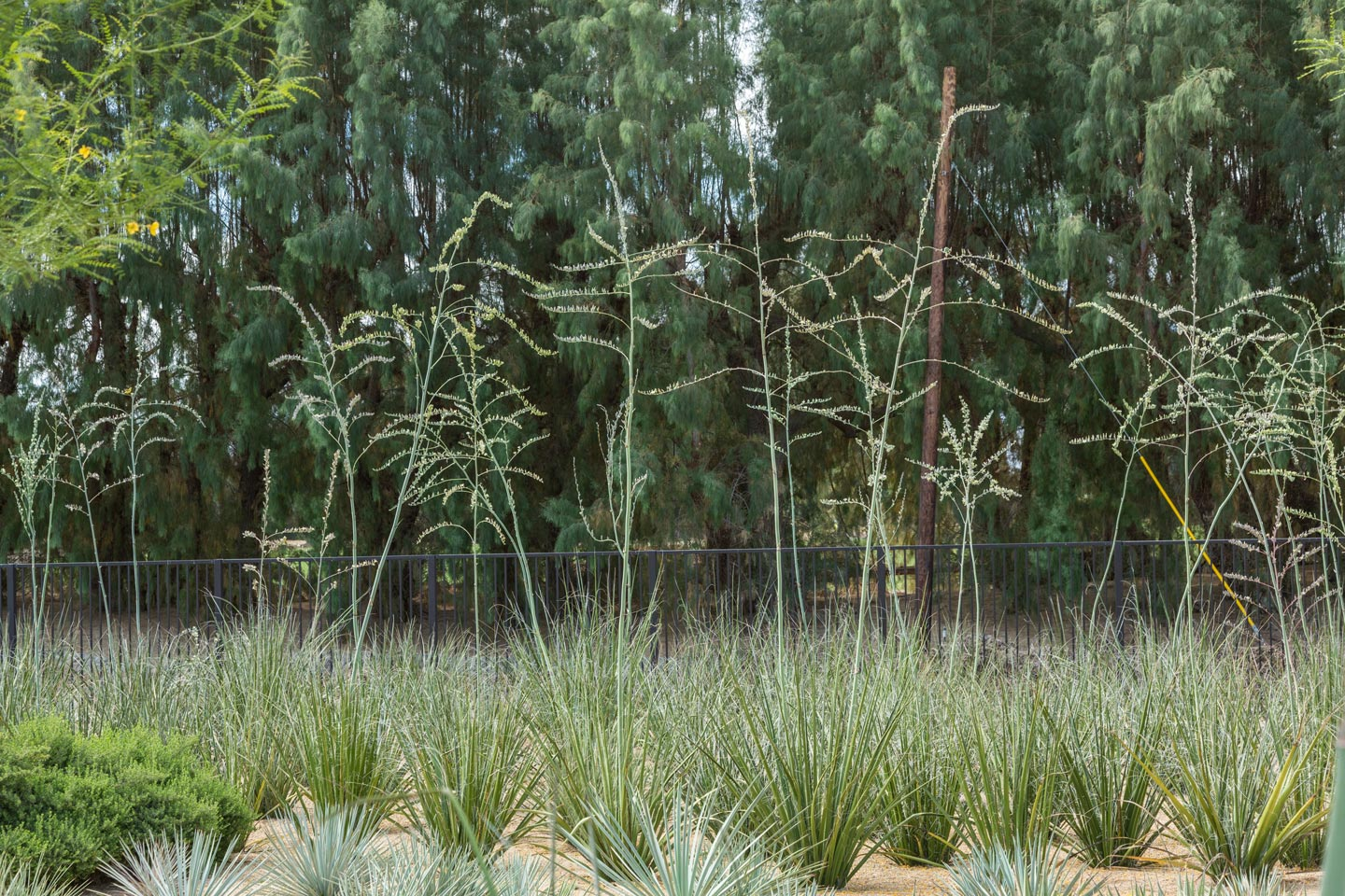 A group of flowering Giant Hesperaloes against a backdrop of a large row of dark green Tamarisk trees.