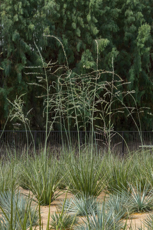 Giant Hesperaloe