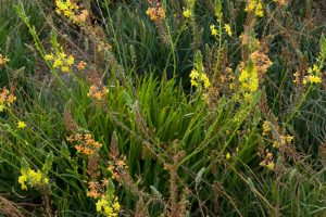 A group of African bulbine plants with stalks culminating in orange and yellow flowers.