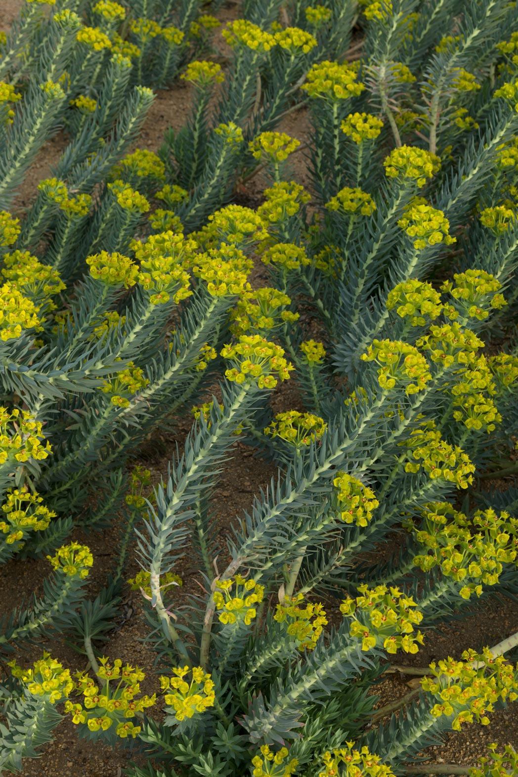 A large group of gopher plants display their chartreuse flowers.