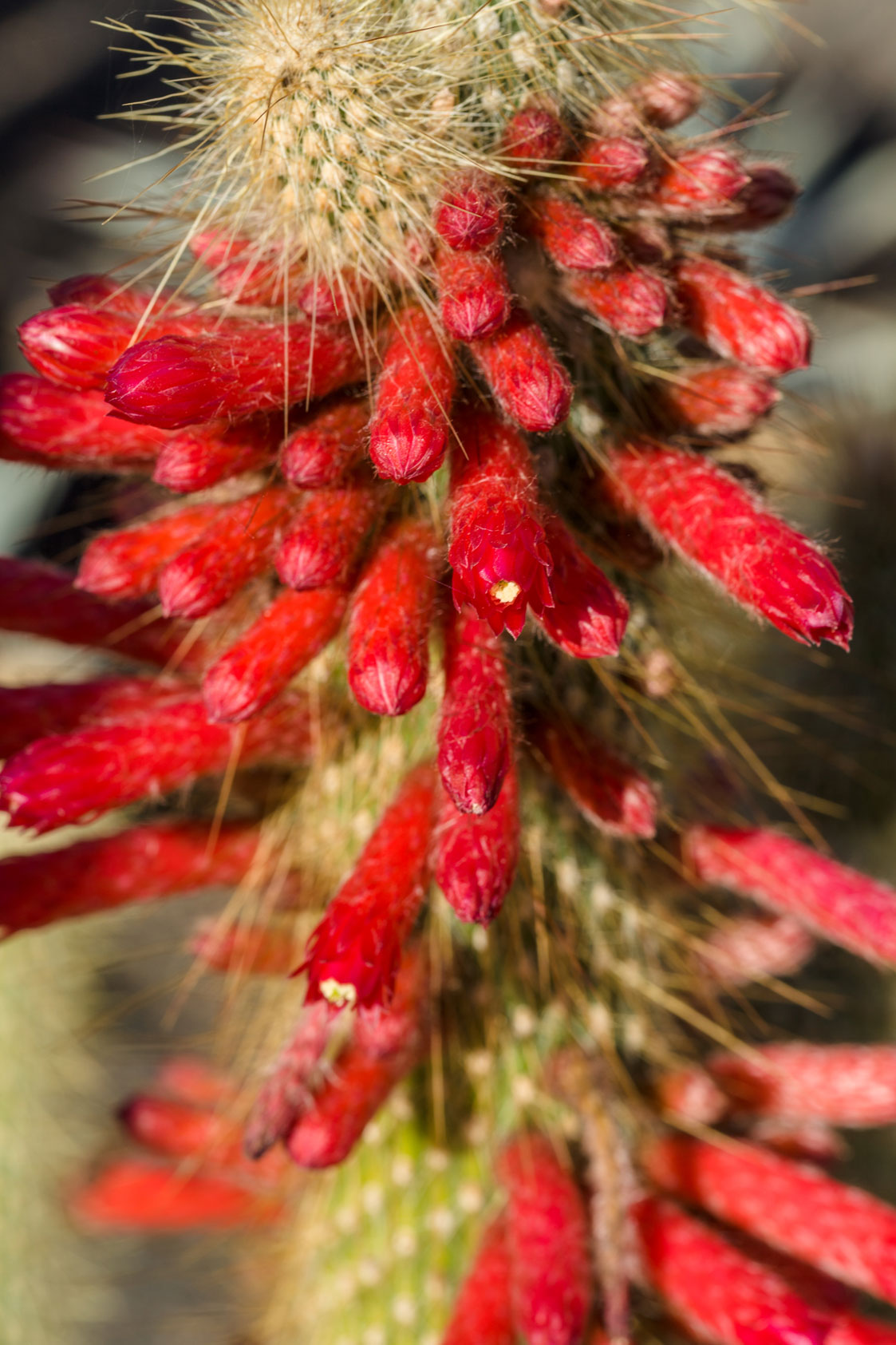 A close look at the top of a Silver Torch cactus, covered in bunches of thin bright red flower buds.