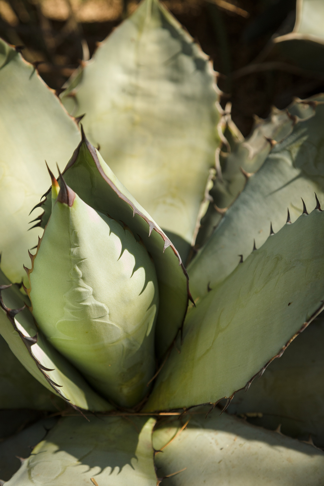 A close-up of the sharp and unique teeth and spines of the Gentry Agave.