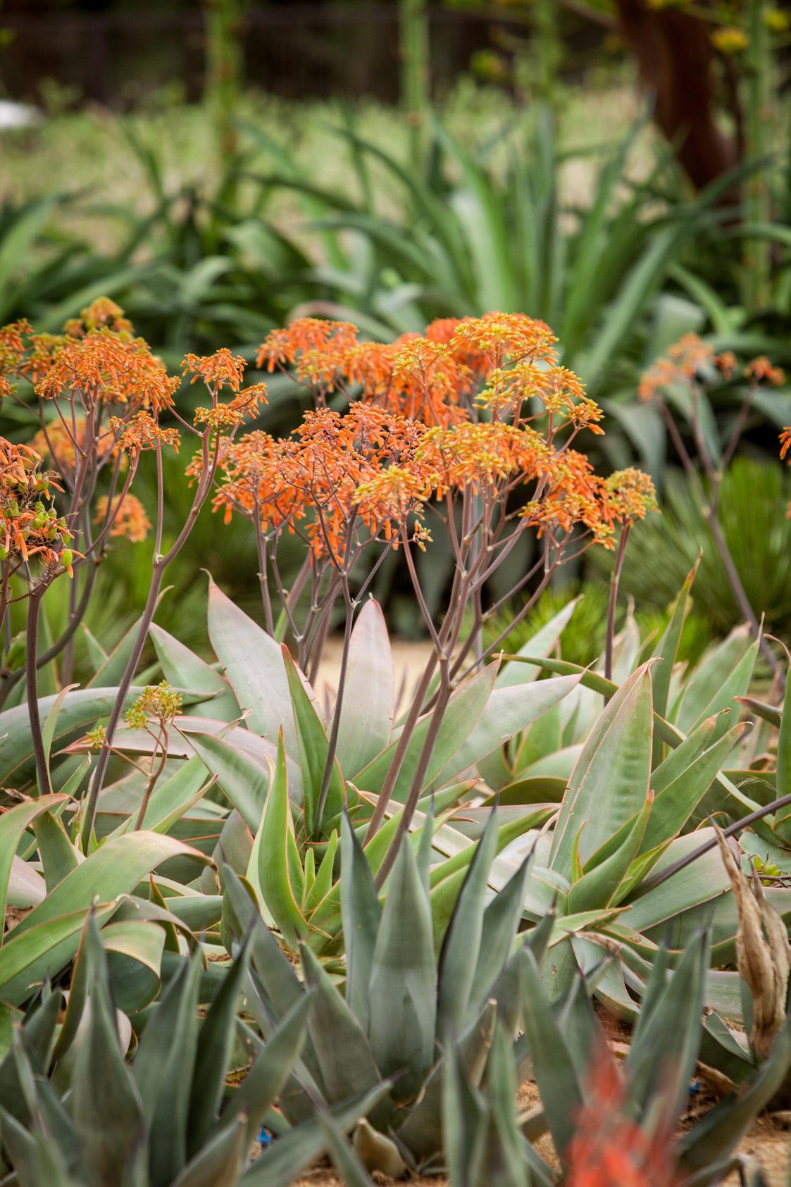 A singular flowering Coral Aloe.