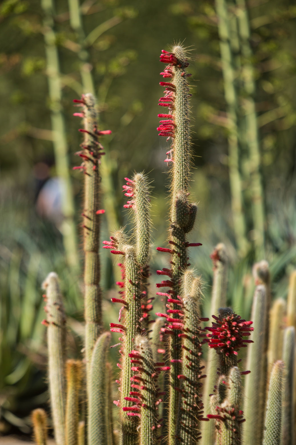 A Silver Torch Cactus in the specimen bed at Sunnylands Center & Gardens.