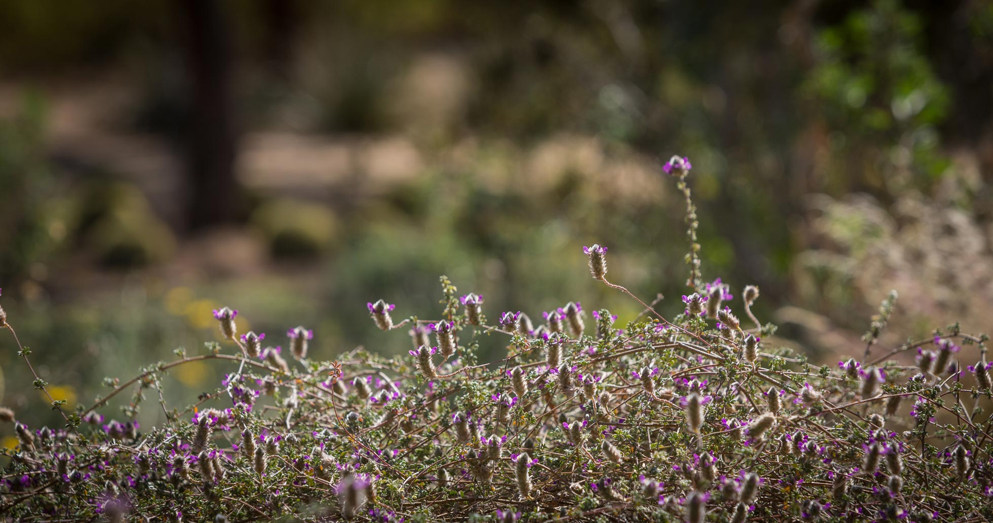 A close-up of the fuzzy purple flowers of the Trailing Smokebush.