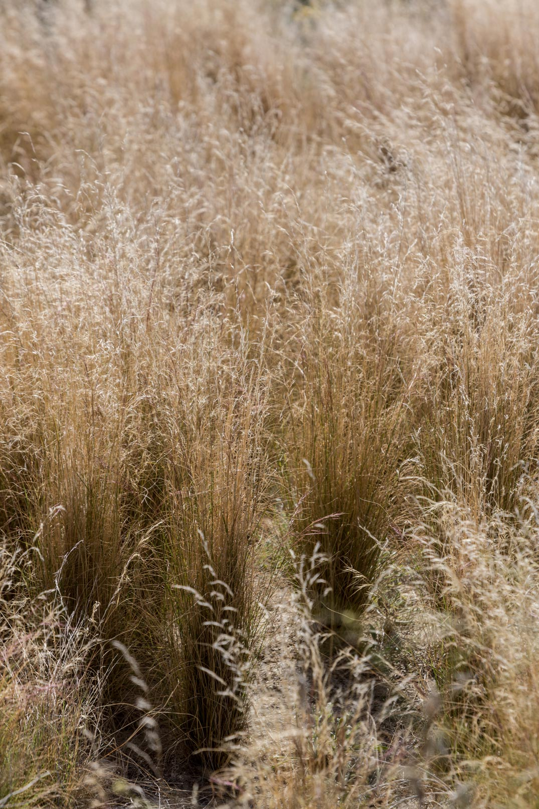 Indian Ricegrass