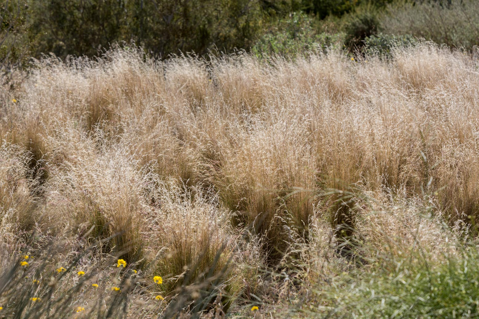Indian Ricegrass, catching the light of the sun, glows in the Wildflower Field at Sunnylands Center & Gardens.