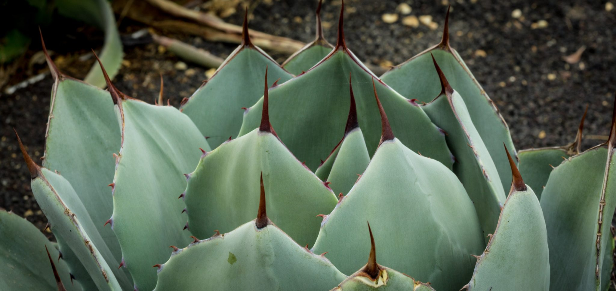 A close-up of the leaves and spines of the Artichoke Agave.