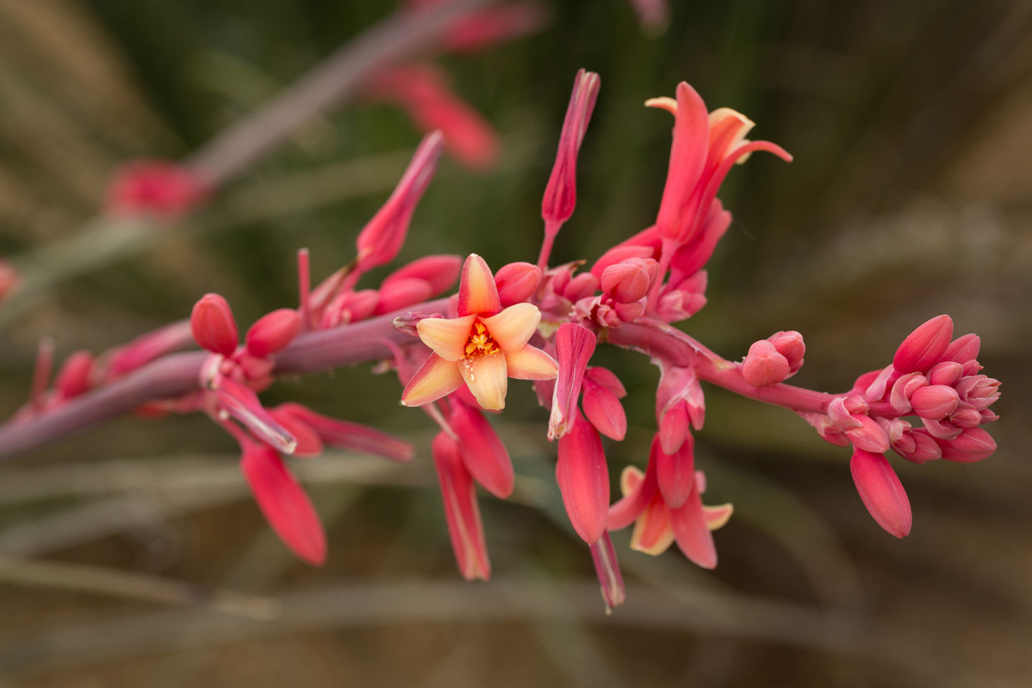 A close-up of bright red Hesperaloe flowers along a stalk.