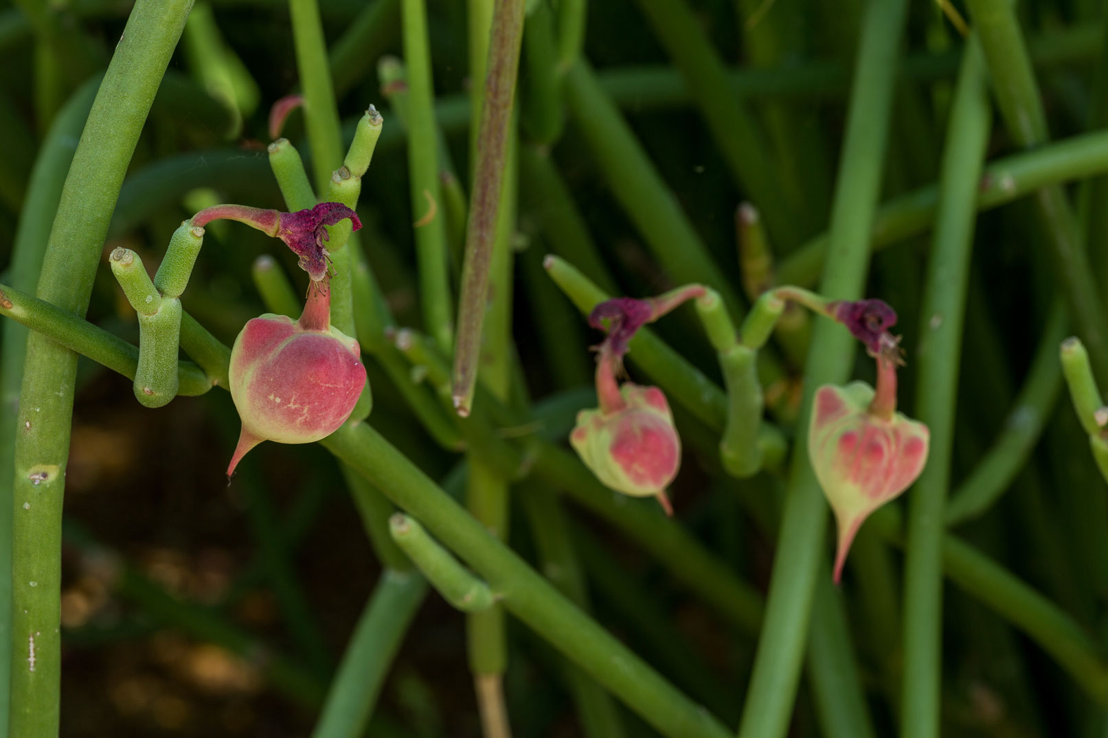 A close-up of Slipper Flower seed pods.