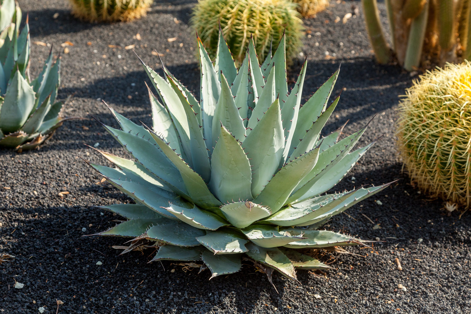 Parry's Agave