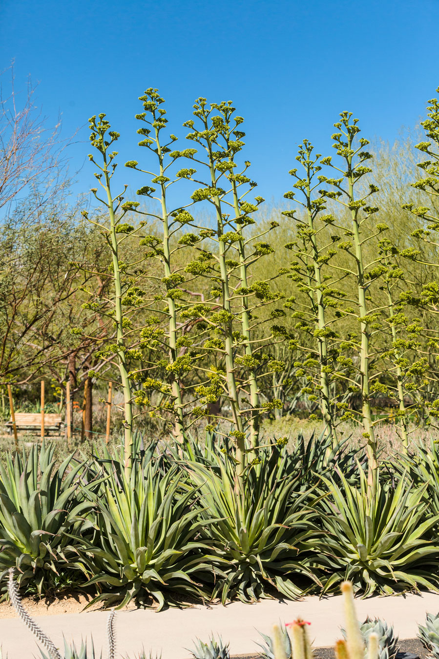 A row of Smooth Agave with fully emerged bloom stalks in the gardens.