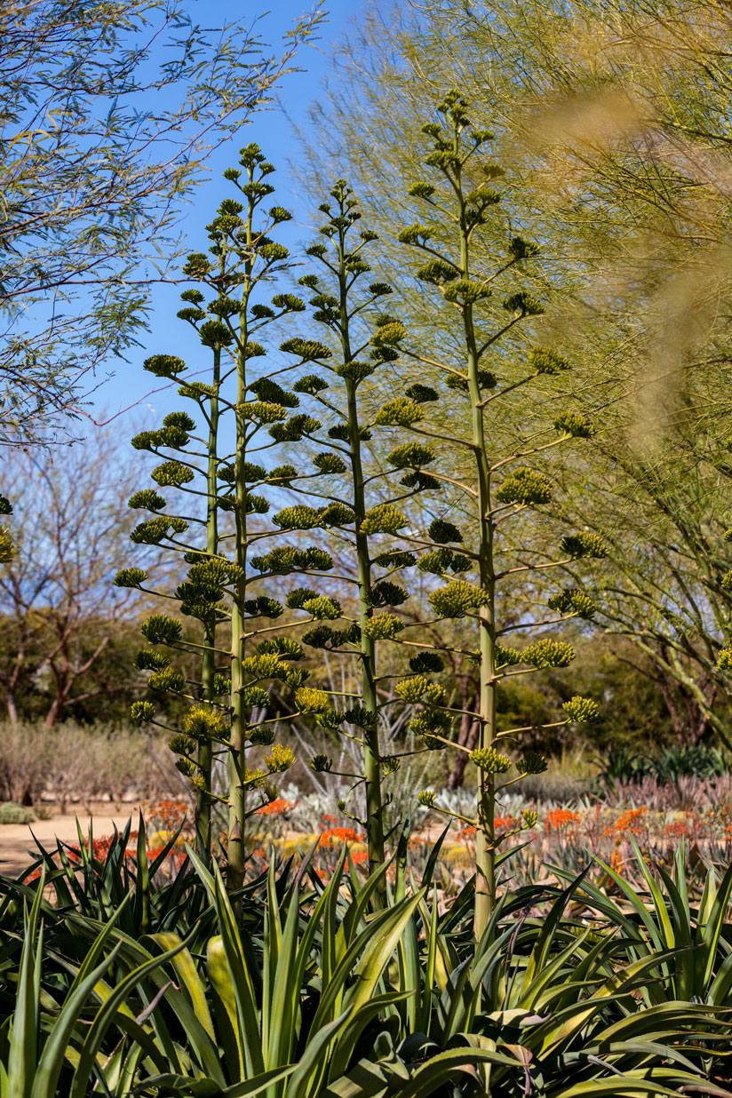 A couple of Smooth Agave blooming in the Gardens.