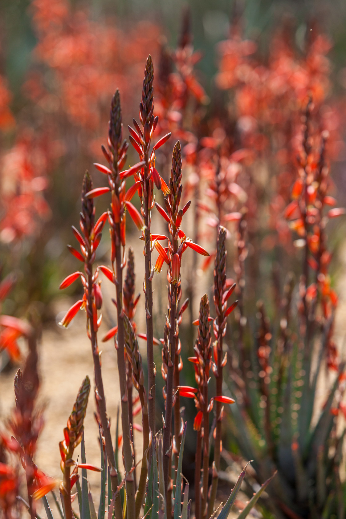 A large group of coral-blooming Blue Elf Aloes.