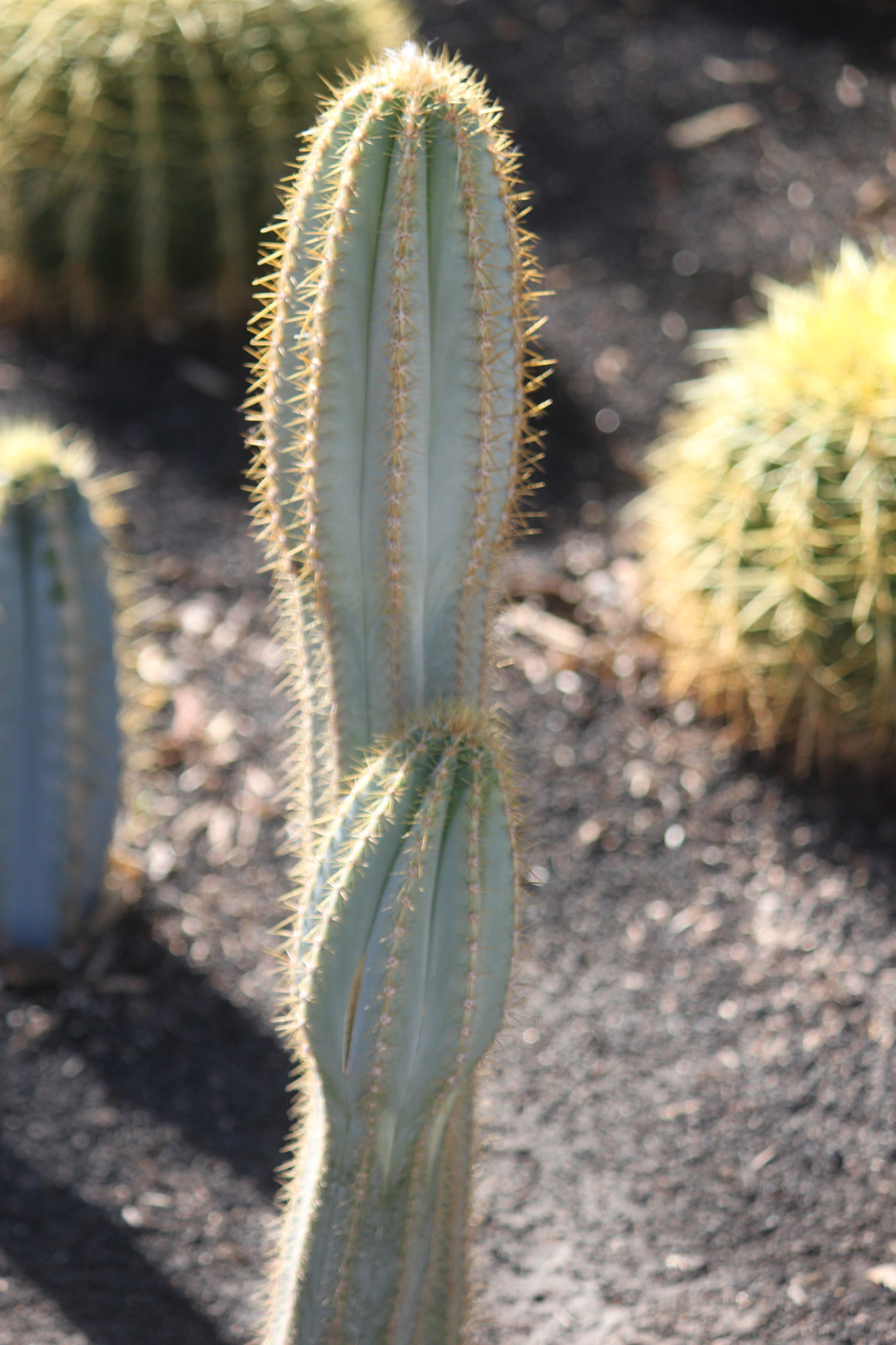 A Blue Torch cactus in the specimen bed.
