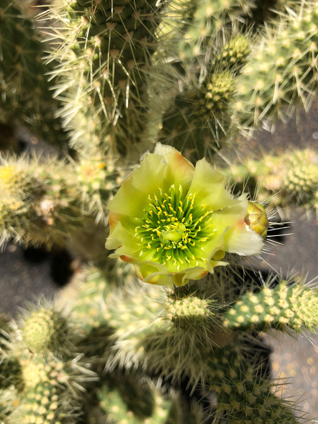 A Teddy Bear Cholla blooms.