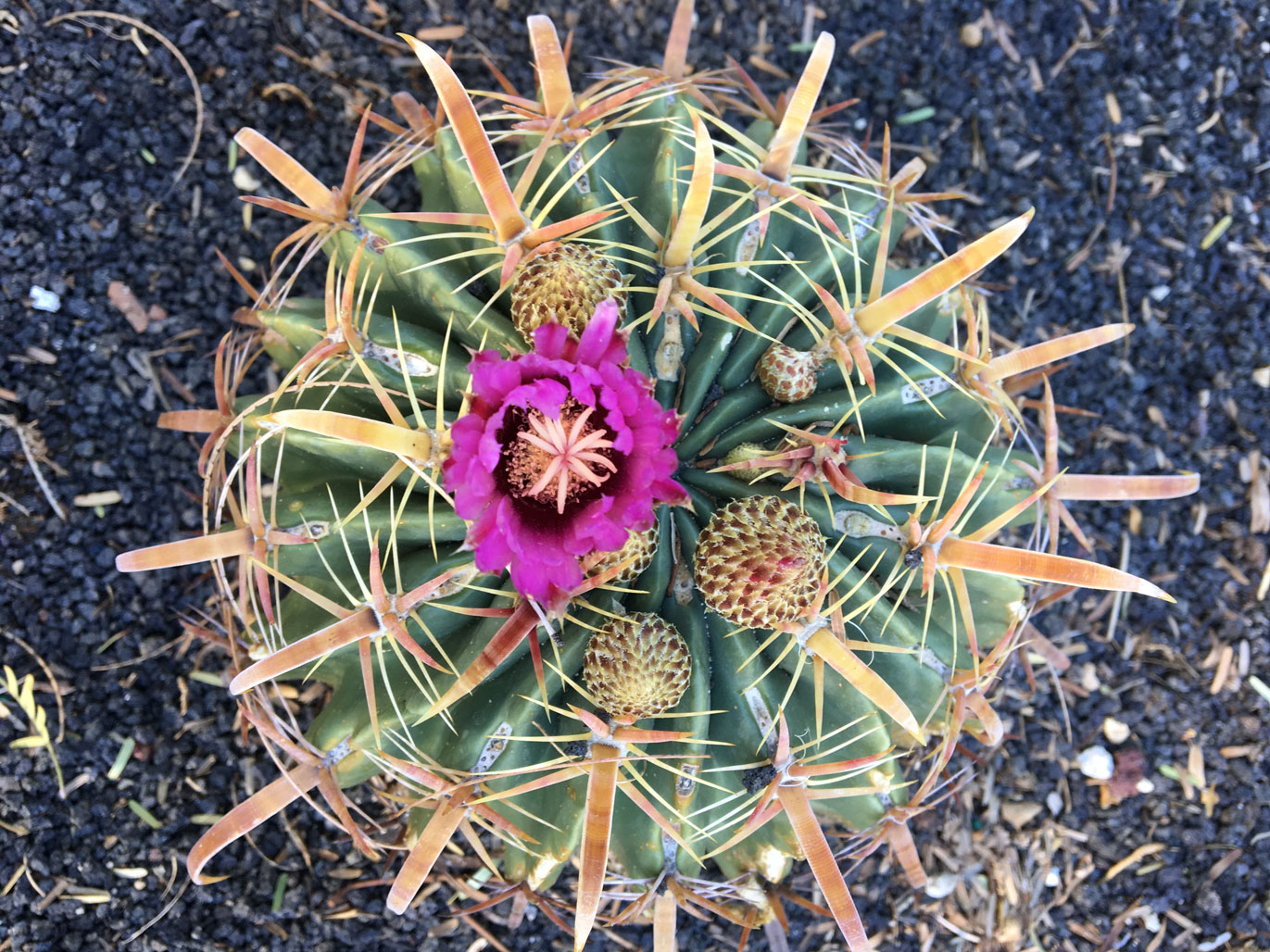 A top-down view of a Fish Hook barrel cactus with a purple flower and red spines.