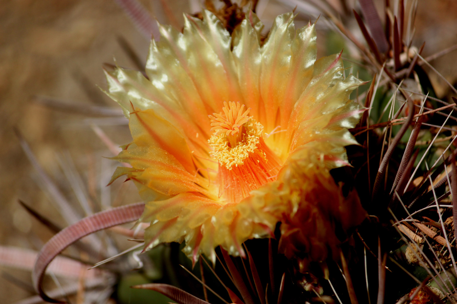 A close-up of a yellow-orange Fish Hook barrel cactus flower.
