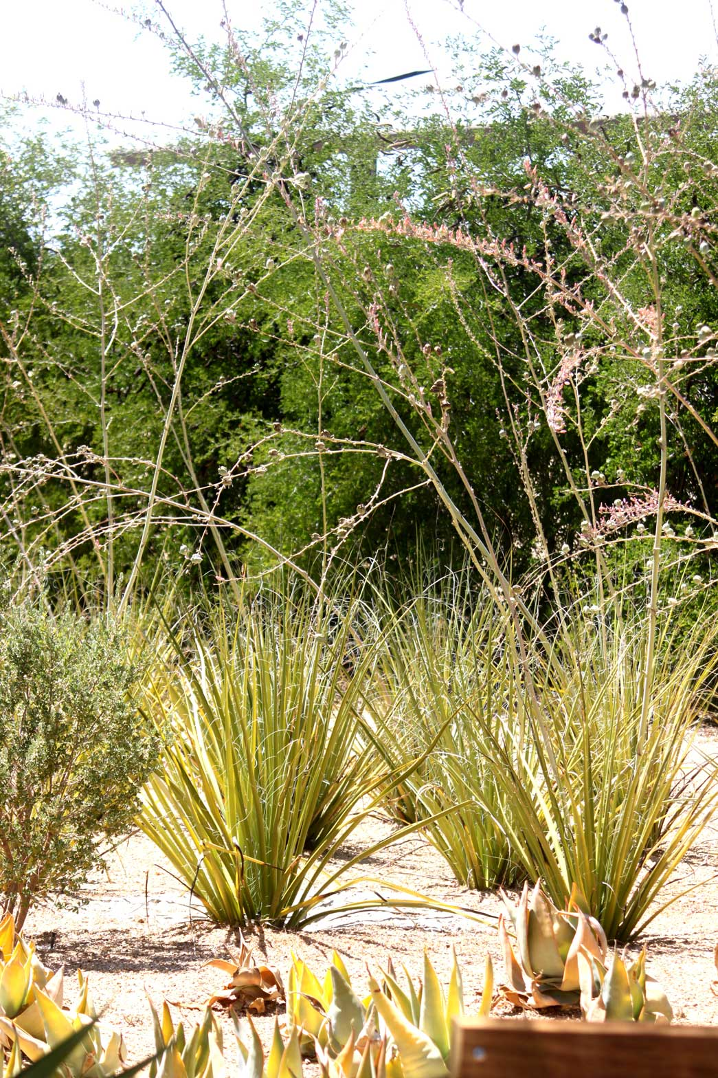 Giant Hesperaloe flowering with a hedgerow of Texas Ebony behind them.