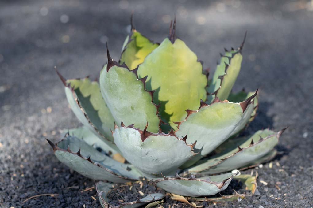 Agave Titanota in the specimen bed.